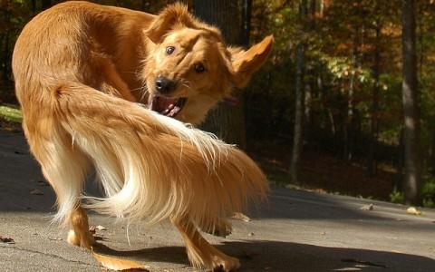 الكلاب المطاردة لذيلوها هى الأقرب للبشر مع الوسواس القهرى